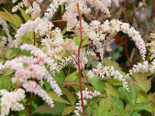 Astilbe thunbergii 'Betsy Cuperus'