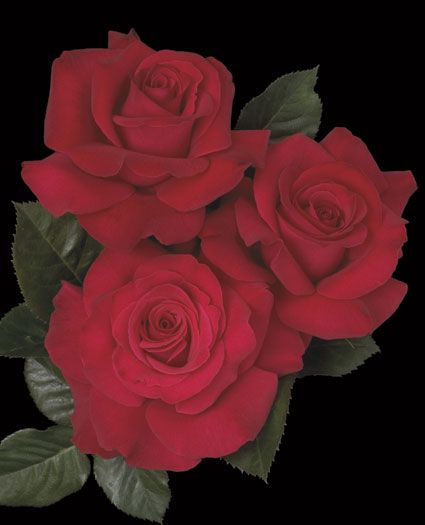 Let Freedom Ring Hybrid Tea Rose - A red rose with long stems that will make Uncle Sam proud.