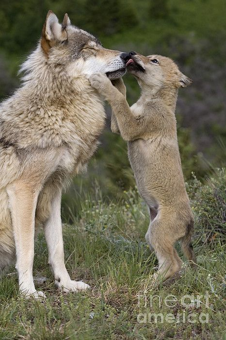 Wolf Cub Begging For Food