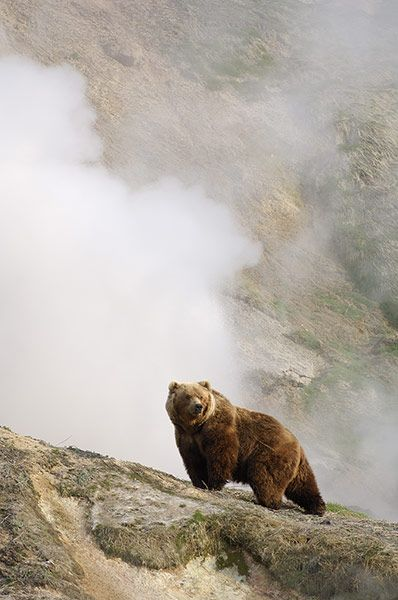 A bear stands in front of a steaming geyser in the Valley of the Geysers of Kronotsky Zapovednik, Russia.