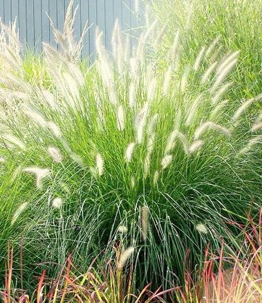 17 best images about grasses ferns on pinterest sun for Fountain grass for shade