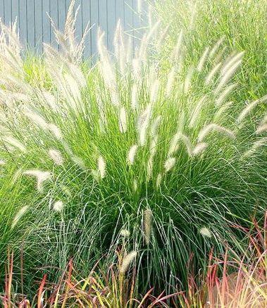 17 best images about grasses ferns on pinterest sun for Tall oriental grass
