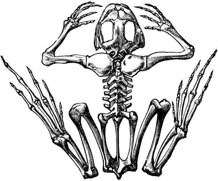 frog skeleton line drawings skeleton drawings animal. Black Bedroom Furniture Sets. Home Design Ideas