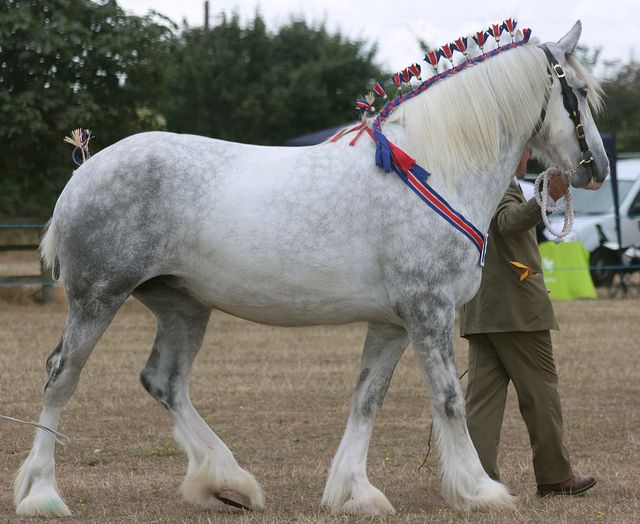 10 best Horses - Breeds - Shires images on Pinterest ...