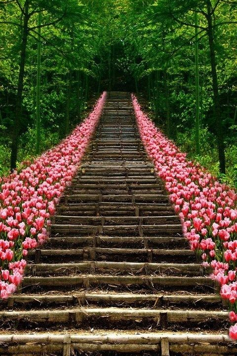 Path of Pink Tulips