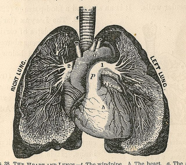 Lungs drawing