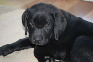 Liesel the Labrador From 'Why Getting Another Dog Is Better Than Having Another Baby' http://louise-allan.com/2014/04/29/dog-or-baby/