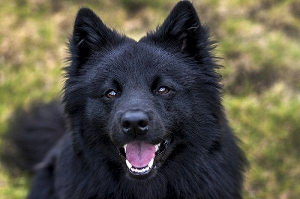 samoyed dogs black face | Dog | Pinterest | Dogs, Colors ...