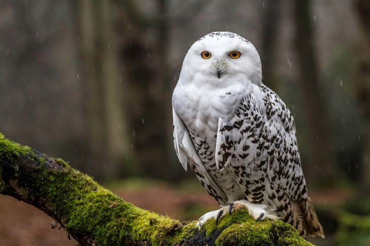 Just because it's my name.. - A Snowy owl looks less than impressed in the snow