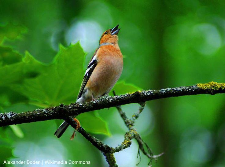 Nous avons compl t notre article avec les descriptions de for Oiseaux des jardins