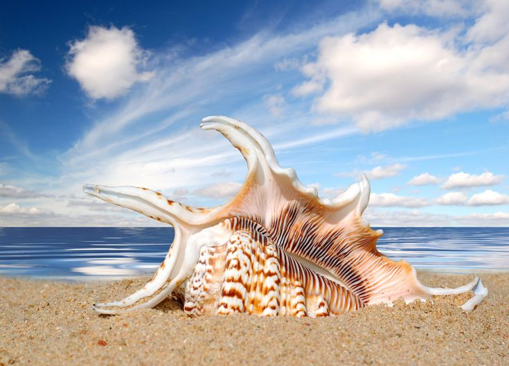 94 best sea shells images on Pinterest Sea shells Seashells and