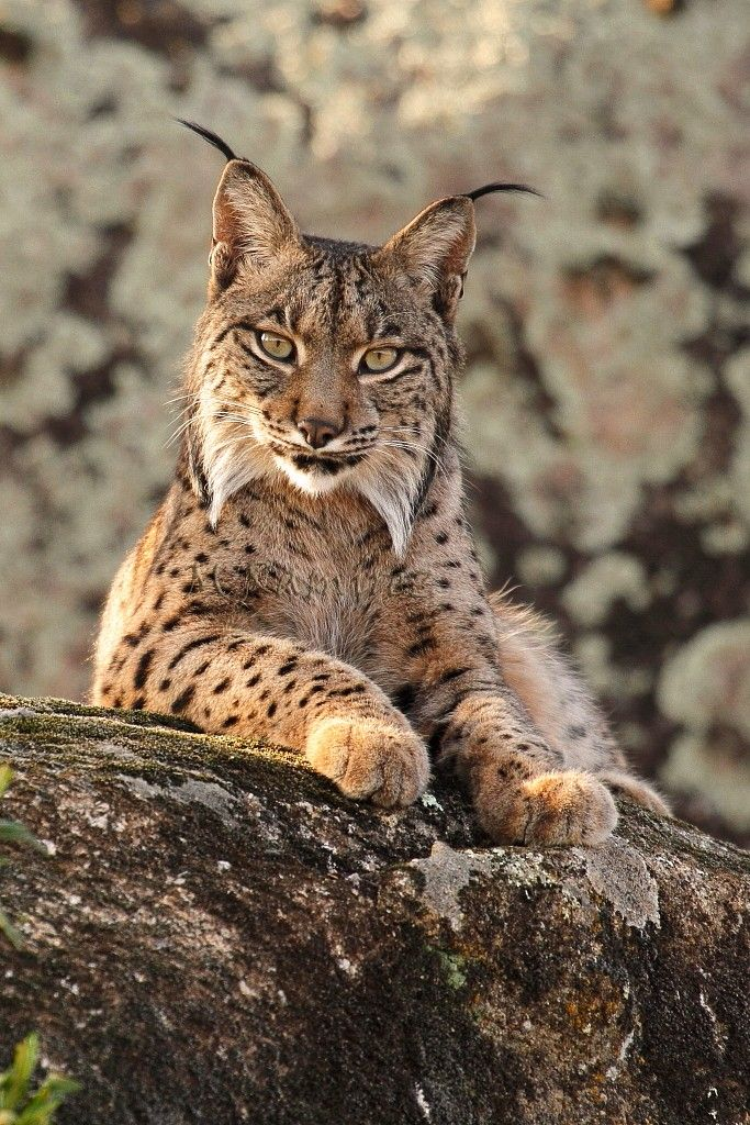 Iberian Lynx (Lynx pardinus) is a critically endangered species of felid living mainly in the Iberian Peninsula in southwestern Europe.They are categorized as critically endangered by many institutions, including the International Union for the Conservation of Nature.