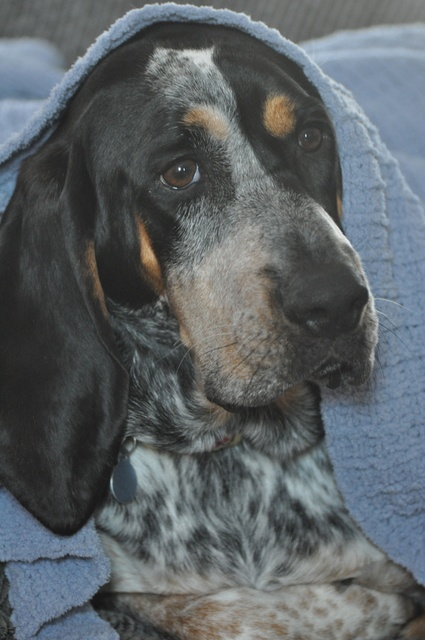 I always wanted a blue tick coon hound dog!