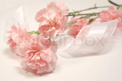 Bild von 'Soft pink carnations and white silky ribbon' on Colourbox