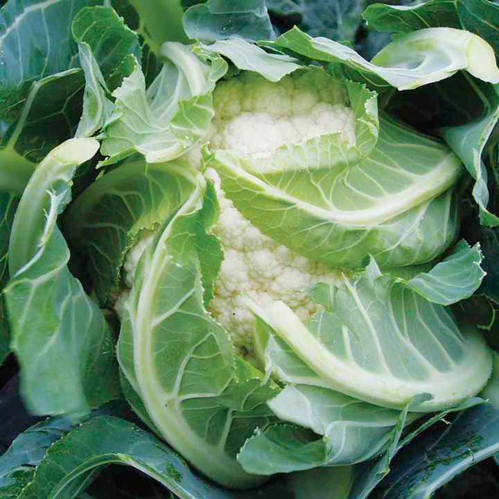 how to keep cauliflower white in the garden