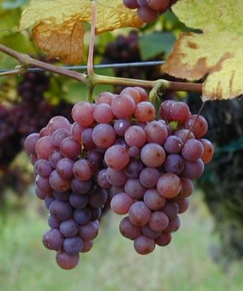 Traminer aromatico: Colli orientali, Collio, Isonzo, Friuli-Aquileia, Friuli-Annia, Friuli-Latisana, Friuli-Grave, Carso.