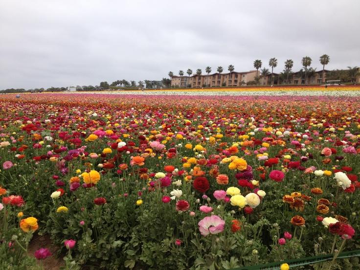Flower Fields at Carlsbad, CA