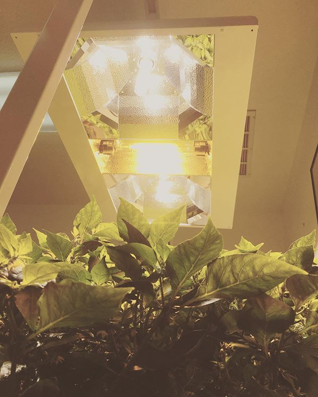Daisy Solar String Lights: The Grow Beast. . . . #peppers #hydroponics #hydro