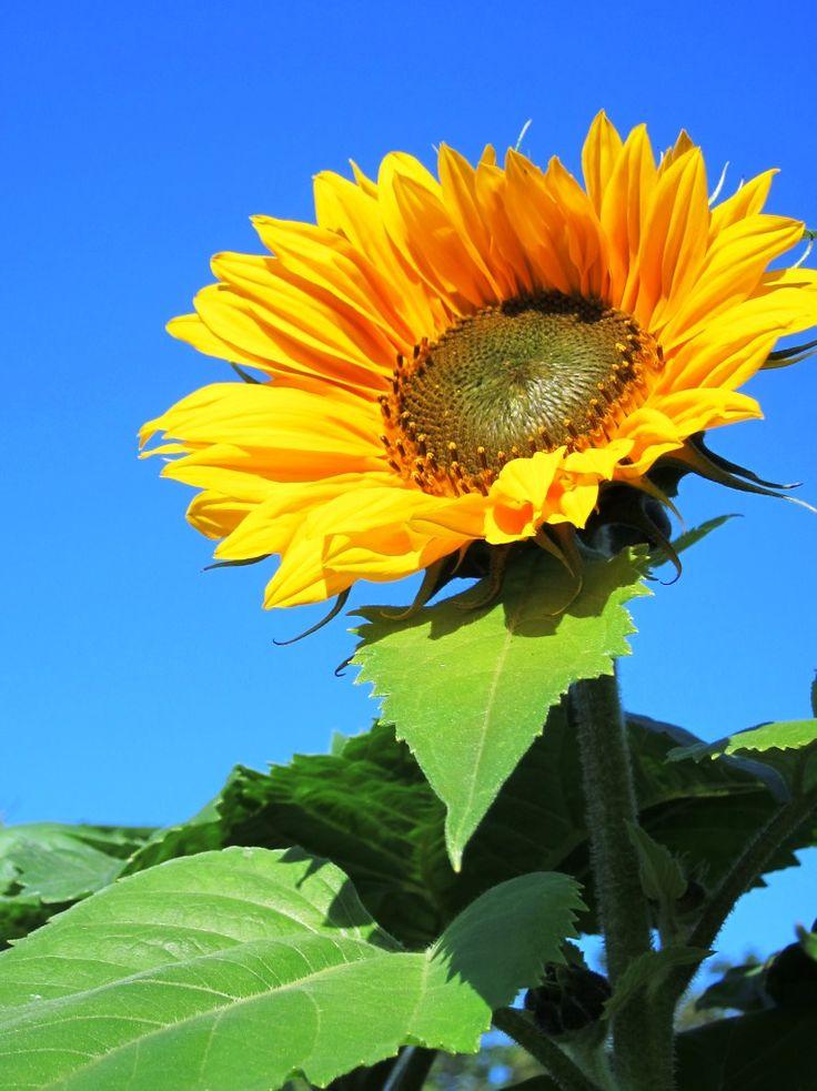 144 best Flowers images on Pinterest  Sunflowers Bellis
