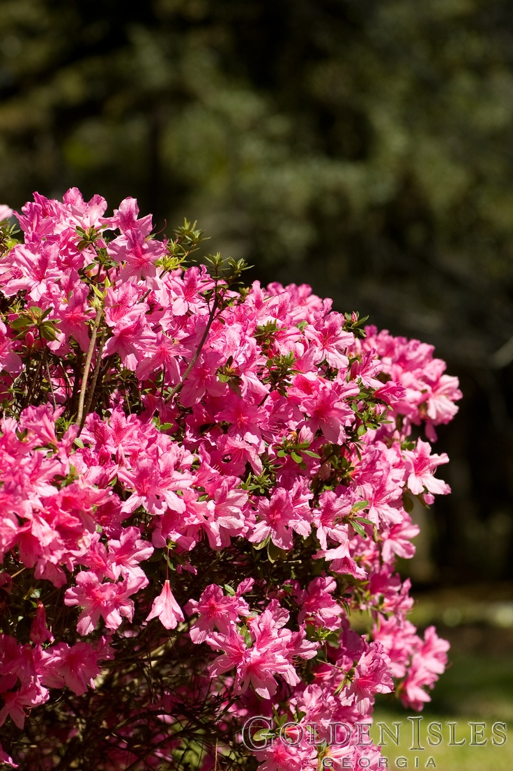 Spring flowers azaleas usually bloom in the end of for Flowers in season now