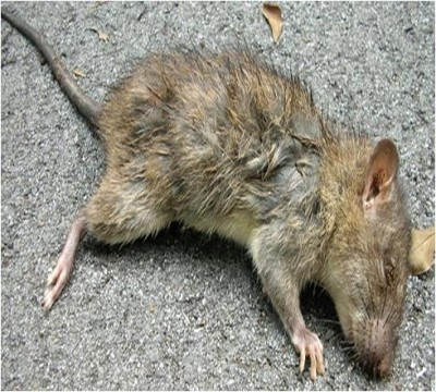 How to Get Rid of Dead Rat Smell...the downside of living semi-rural.
