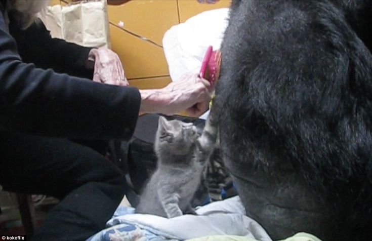 Special moment: According to Koko's trainer, the special ape is able to understand more than 1,000 signs of what Patterson calls 'Gorilla Sign Language'. Above, staff at The Gorilla Foundation help the grey cat to brush Koko's furry coat during the adorable meeting