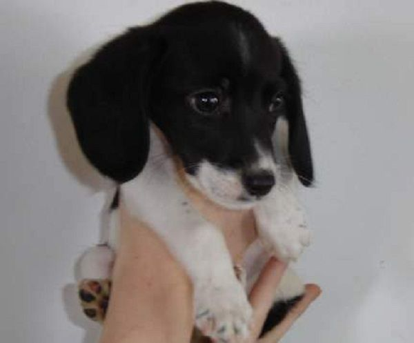 beagle puppies black and white | Zoe Fans Blog