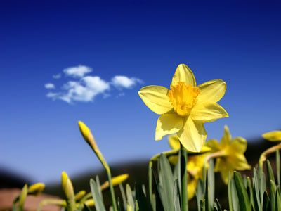 daffodils | Free Spring Wallpapers