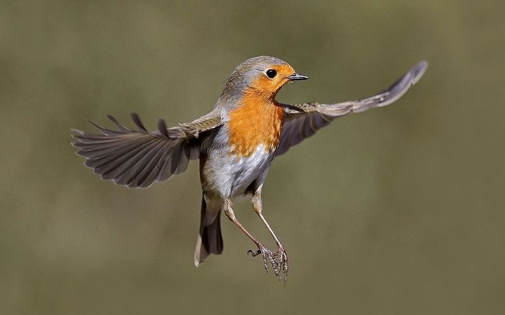 The Robin has been chosen as the national bird for Britain.