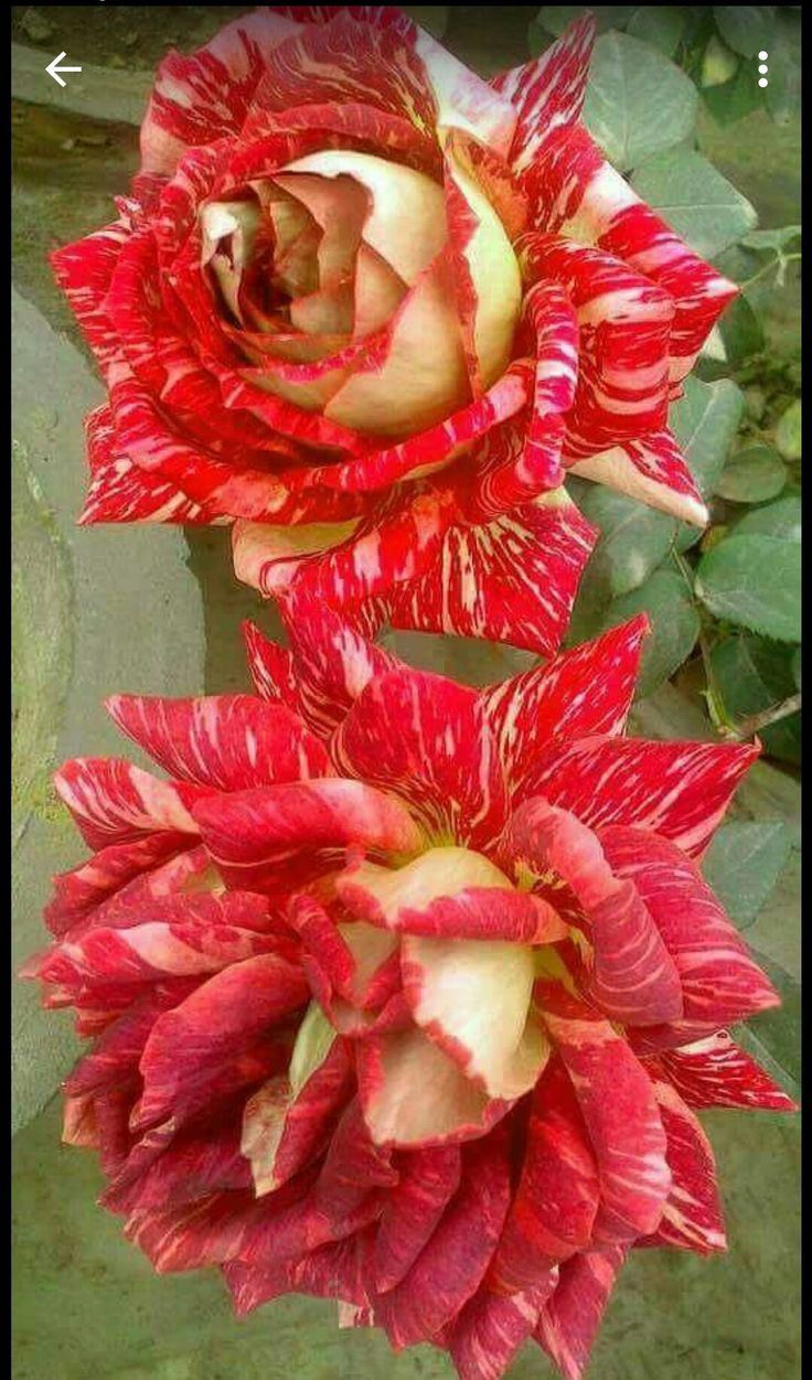 Pin on Beautiful Flowers and Roses