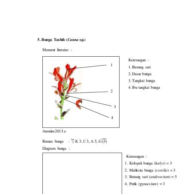 Keren 30 Gambar Bunga Bougenville Serta Bagiannya Laporan Praktikum 7 Rumus Bunga Dan Diagram Bunga Morfologi Download Gambar Di 2020 Gambar Bunga Kembang Sepatu