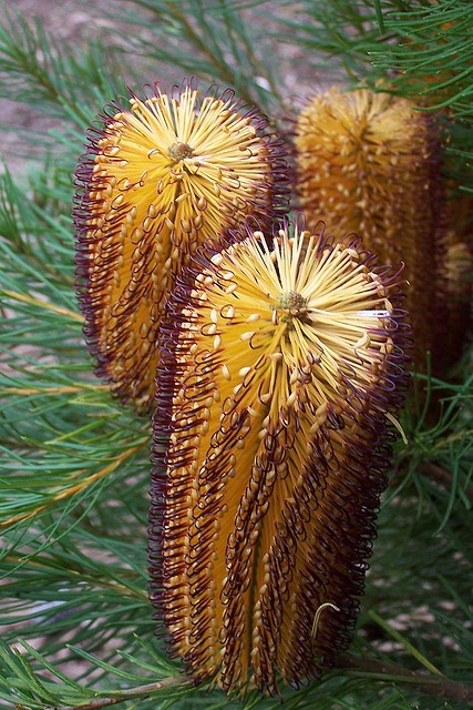 These are Banksia Cones. I like these but I think they should be green so that they are hidden in the bush and animals don't eat them