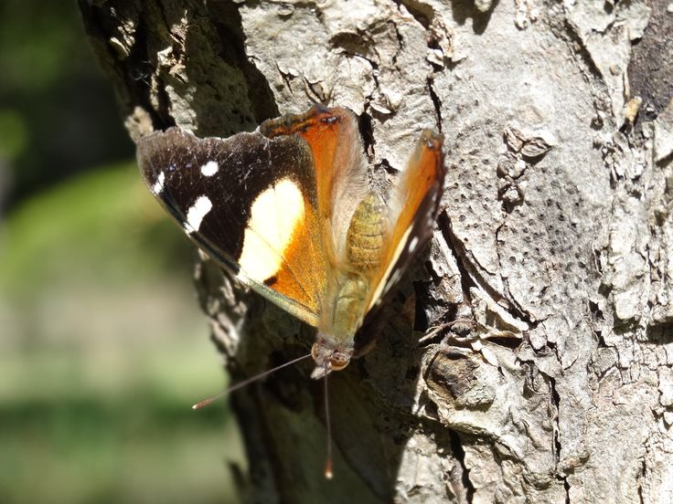 Native Yellow Admiral butterfly are feisty creatures. Regularly seen chasing Monarch butterflies away from food sources.