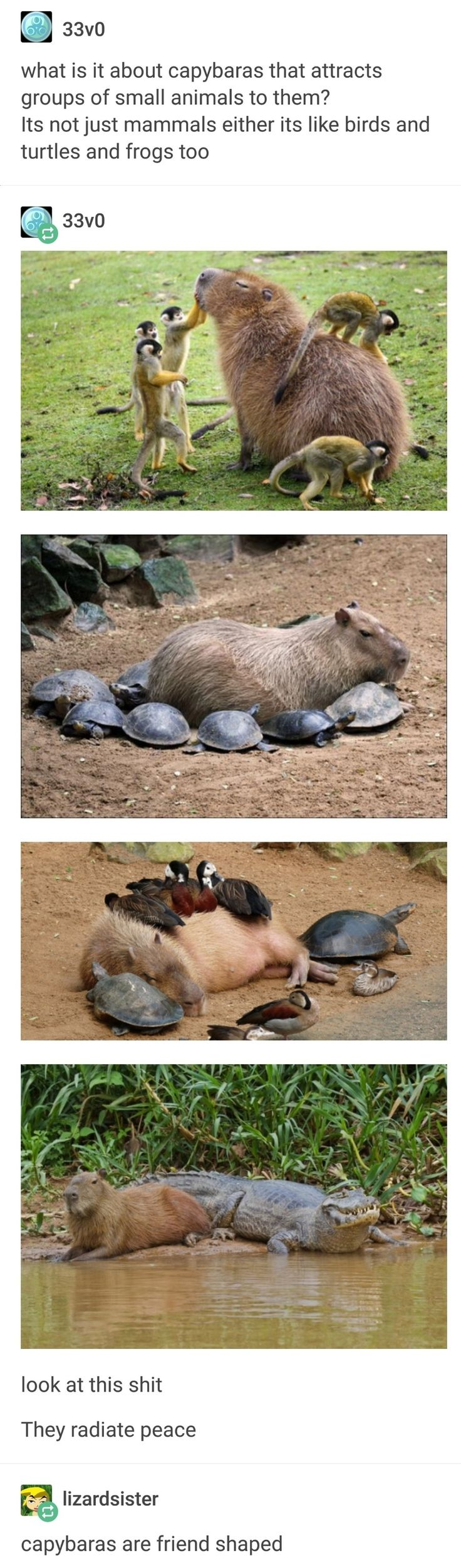 Capybara, the most wholesome animal