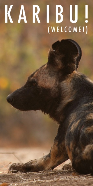 Help save the endangered African wild dogs - learn more and DONATE at updogtz.org