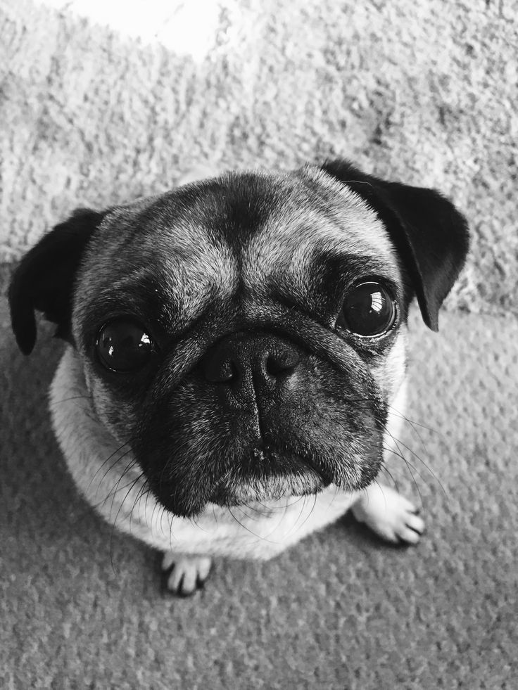 Pin by Kelly Creve on Mopske Pugs, Dogs, Animals