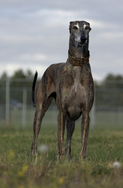 front view standing brindle greyhound dog