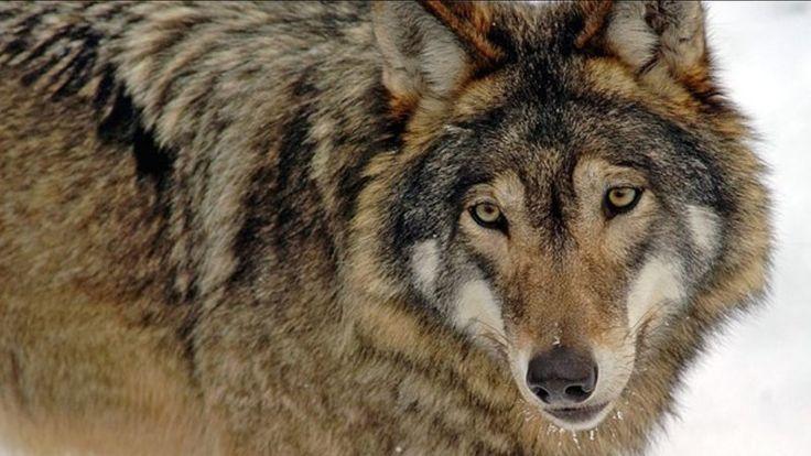"""""""Nästan 50 vargar får skjutas i Norge under vintern. Det står klart sedan rovviltnämnden i Hedmark tillåtit licensjakt på 24 vargar inom den zon där norska staten tillåter att djuren vistas, rapporterar NRK.   Tillsammans med licensjakten i övriga landet kan det resultera i jakt på 47 vargar.   - Vi..."""