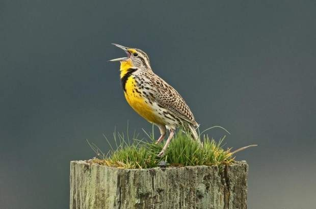 Western Meadowlark (State of Oregon Official Bird) by Jim ...