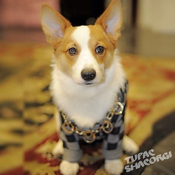Does This Corgi Have Blue Eyes Or Gray Eyes It Sort Of Looks Like That In This Photo Pembrokewelshcorgiblue Corgi Corgi Dog Cute Dogs And Puppies