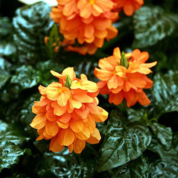 Кроссандра (Crossandra) - растение семейства Акантовые (Acanthaceae). Представляет собой в природе вечнозеленые кустарники и полукустарники с яркими нарядными цветками желтого, оранжевого, красного цвета. Районы их естественного - обитания тропики восточного полушария, Африка и Индия.