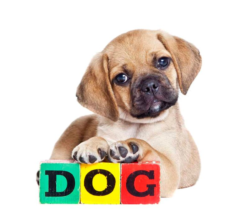 Everything You Need To Know About The Puggle (Pug & Beagle