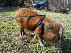 Pet Pig... Micro mini pig with a fitted harness on a leash outside grazing. How to house train a pig!!!!  Oh I would love a pet pig!