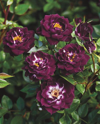 Pin by Zamzows on Flower Fridays Rose varieties Hybrid