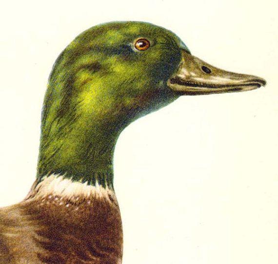 Mallard Duck Natural History