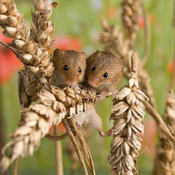 Harvest mousies