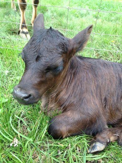Blue Oaks Ranch - Lowline Cattle