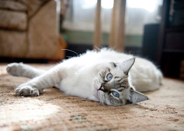 Little-Known Facts About 10 Popular Cat Breeds