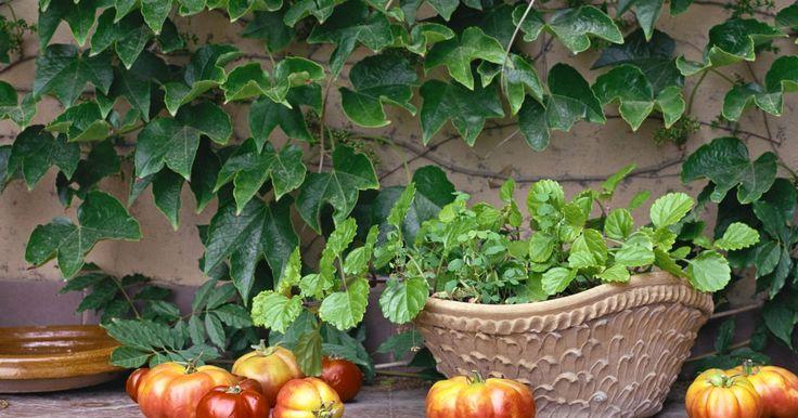 Como podar tomates para aumentar a produção. As plantas de tomate são a cultura favorita dos jardineiros e possuem três principais tipos: determinado, semideterminado e indeterminado. Quando os tomates estão sendo cultivados em gaiolas de arame, não é necessário muita poda, mas alguns brotos devem ser removidos para deixar passar ar e luz suficientes. As variedades de tomate que amadurecem ...