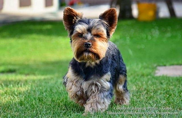 Listado de Razas de Perros y Gatos. Todos los tipos...: Raza de Perro Yorkshire Terrier (Yorkie dog, Yorky...